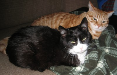 Martini (Black and White) Ruling the Roost - Oliver (Orange), Concerned about getting beaten up!
