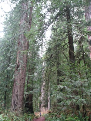 Jon Walking Among the Redwoods.  Can You See Him Down There!?