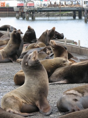 These California Sea Lions Hang Out on a Dock Right Off the Parking Lot!