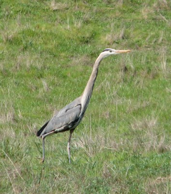 Great Blue Heron at Point Reyes National Seashore