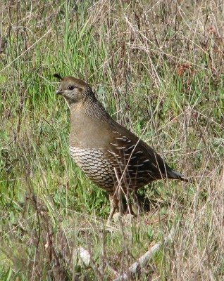 Female California Quail at Point Reyes National Seashore