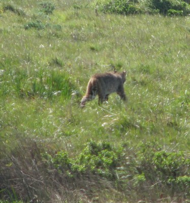 Bobcat at Point Reyes National Seashore