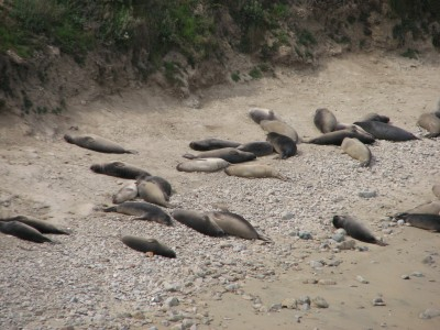Female Elephant Seals at Point Reyes