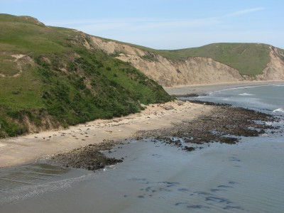 Elephant Seals at Point Reyes - They Are Much Bigger Than They Look Here!