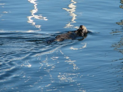 A Sea Otter Clutching His Dinner in Monterey