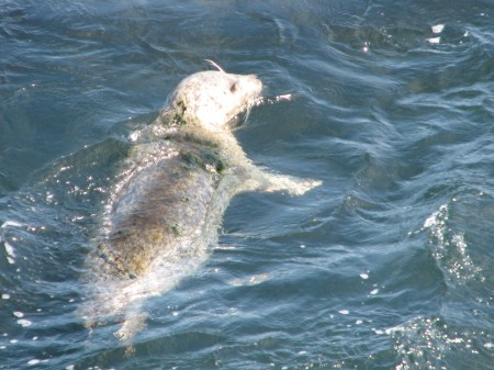 Harbor Seal Outside Monterey Bay Aquarium