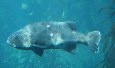 Giant Sea Bass at Monterey Bay Aquarium