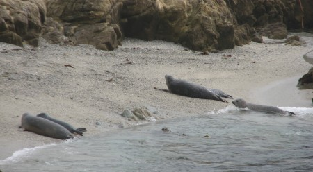Harbor Seals on the Beach Below Fanshell Overlook