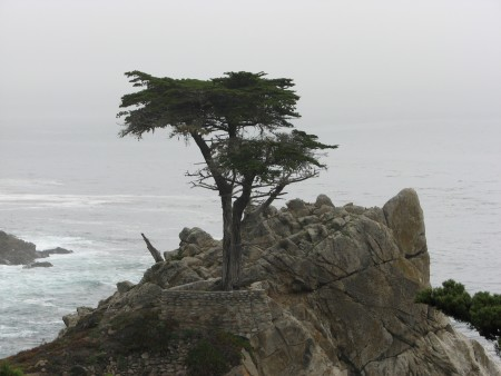 The Lone Cypress - Estimated Age 250 Years