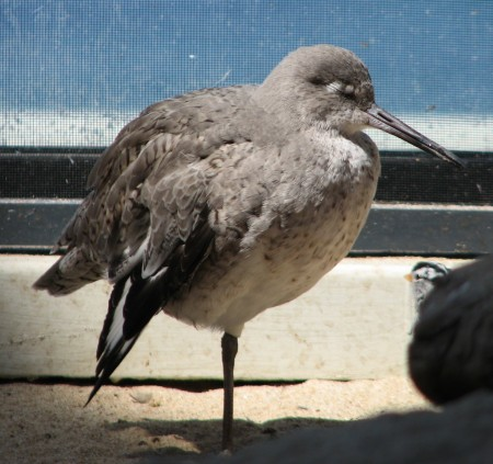 Sleepy Bird at Monterey Bay Aquarium