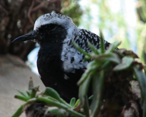 A Gorgeous Black and White Bird at the Monterey Bay Aquarium
