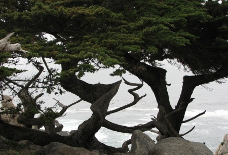 A View of the Pacific Ocean Through the Gnarled Cypress Trunks