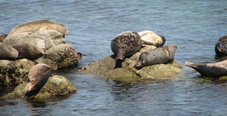 "Seals ""Planking"" in Monterey"