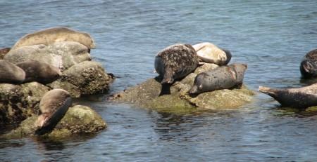 """Seals """"Planking"""" in Monterey"""
