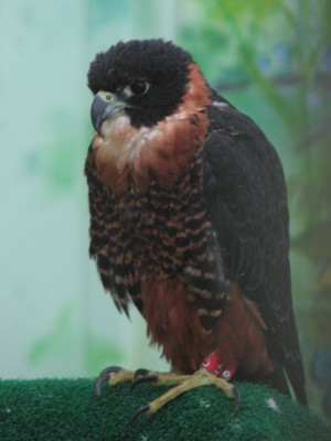 Orange Breasted Falcon - Range from Southern Mexico to Argentina
