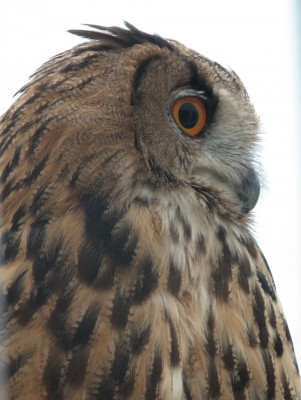 Eurasian Eagle Owl - Native to Northern and Southern Europe