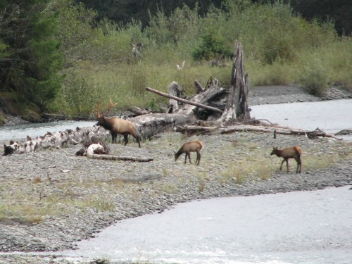 A Roosevelt Elk Bull with two females in the Hoh Rain Forest