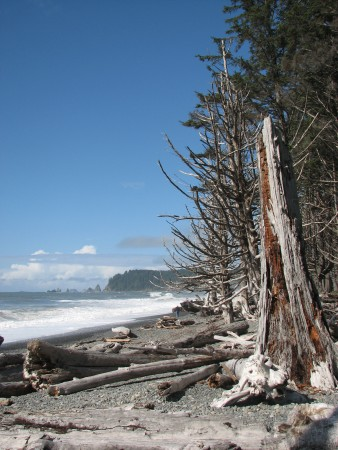 Trees Grow Right Up to the Edge of Rialto Beach