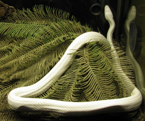 An Albino Snake!