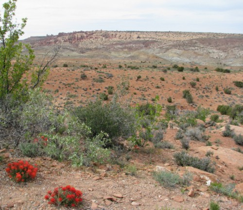 Arches National Park in Bloom – the red blooms are Indian Paintbrush