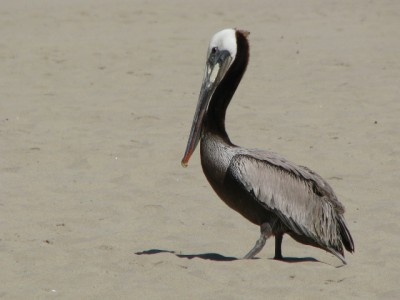 A Brown Pelican on the Beach