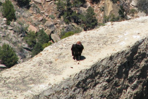 A California Condor standing on the ledge beneath Lookout Studio