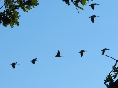 Canada Geese flying home for the night