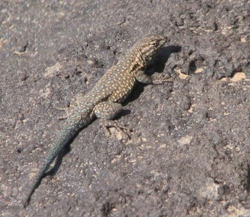 I think this guy is a Common Side-Blotched Lizard – unless somebody has another idea!