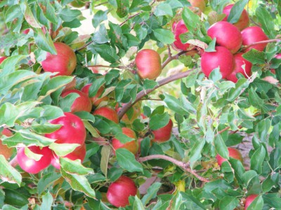 Apples at Douglas Valley – Waiting to be Picked