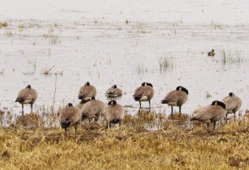 Dusky Geese - They look a lot like Canada Geese to me.