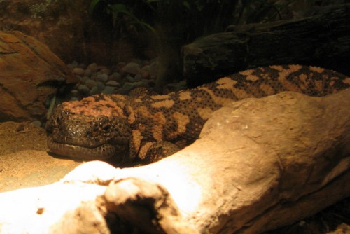 Mollie the Gila Monster