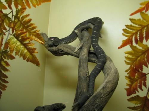 A Melanistic Rattlesnake