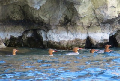 Mergansers! Swimming around the Phantom Ship