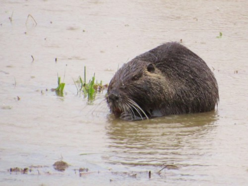 The first Nutria we saw at the refuge.
