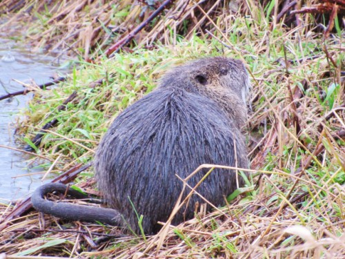 This is the second Nutria we saw - this photo shows his rat-like tail.