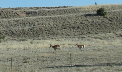 Pronghorn! You can tell they are pronghorn, right?