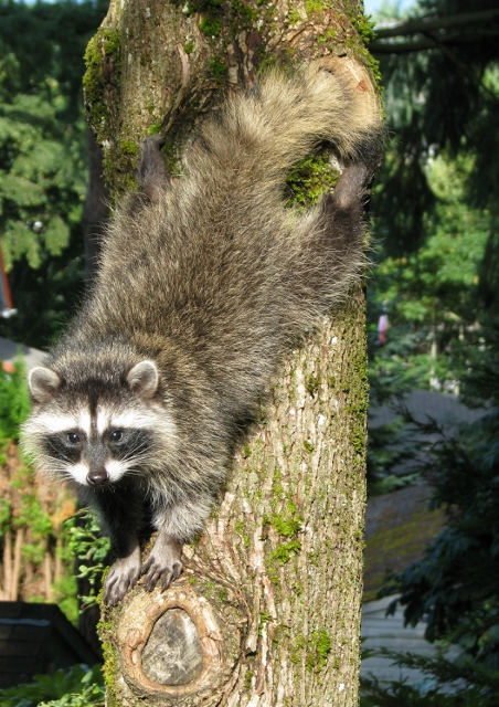Raccoon-Acrobat (452x640)