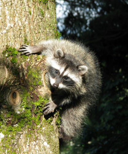 Raccoon Baby in the Tree Next to the Deck – He was Loving Checking Me Out!