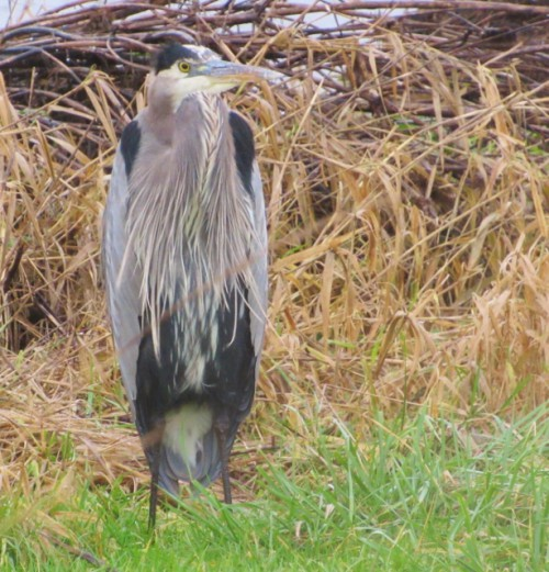 A Great Blue Heron checking us out.