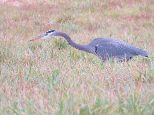A Great Blue Heron looking for its next meal.