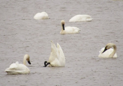 Tundra Swans - They like to do butts up too!