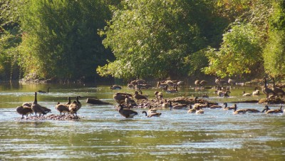 Canada Geese Hanging Out on the Rogue River