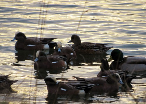 There were lots of American Wigeons at Nisqually
