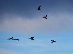 Ducks Fly Overhead - This was as close as we got.