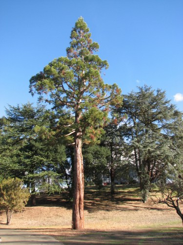 John Muir brought this Sequoia to the property as a seedling from Yosemite