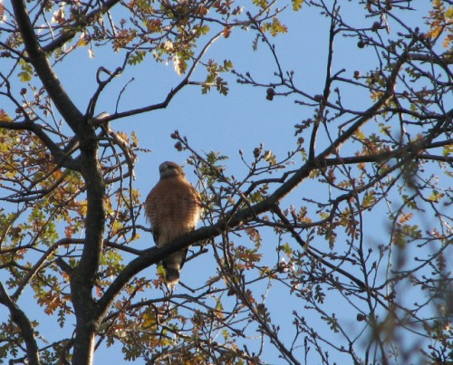 A beautiful hawk was watching us at the Maidu Historic Site
