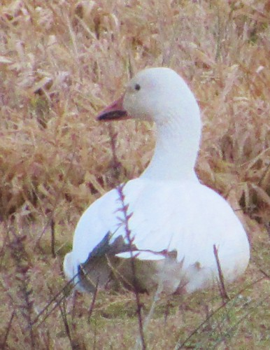The Lone Snow Goose on our visit.