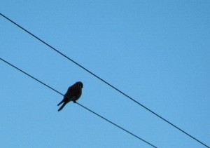 I think this is a Prairie Falcon - he wasn't very close.