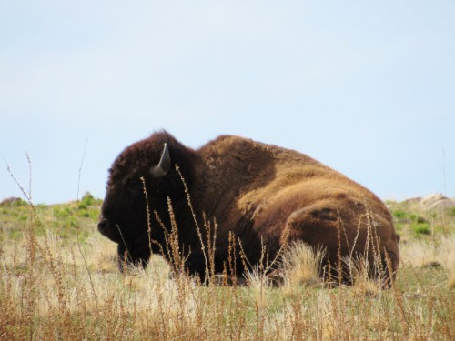A  Bison relaxing at Antelope Island