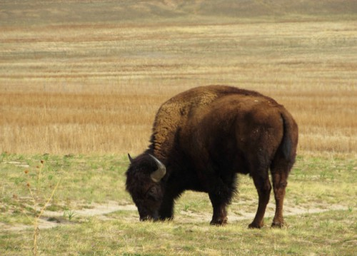 A Bison grazing on Antelope Island